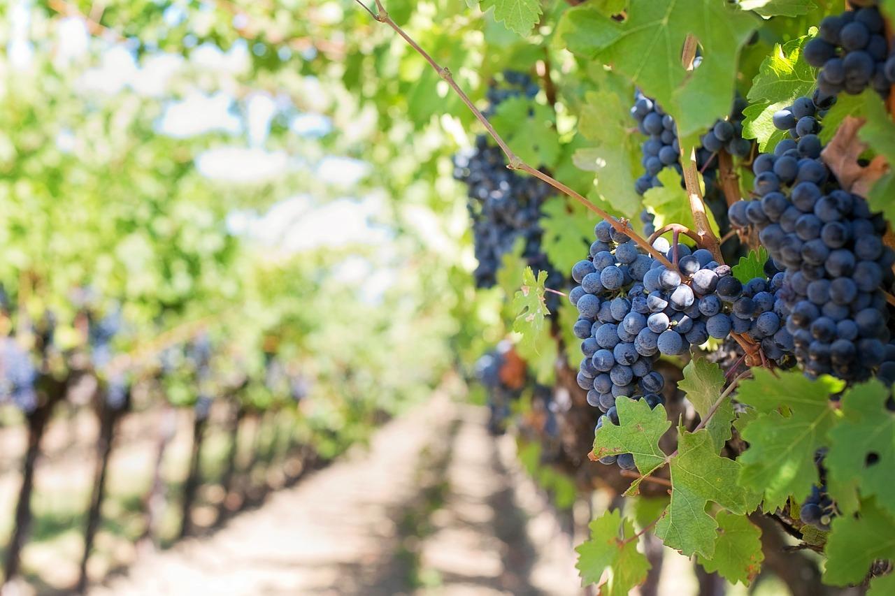 racimos de uvas Carlos Serres