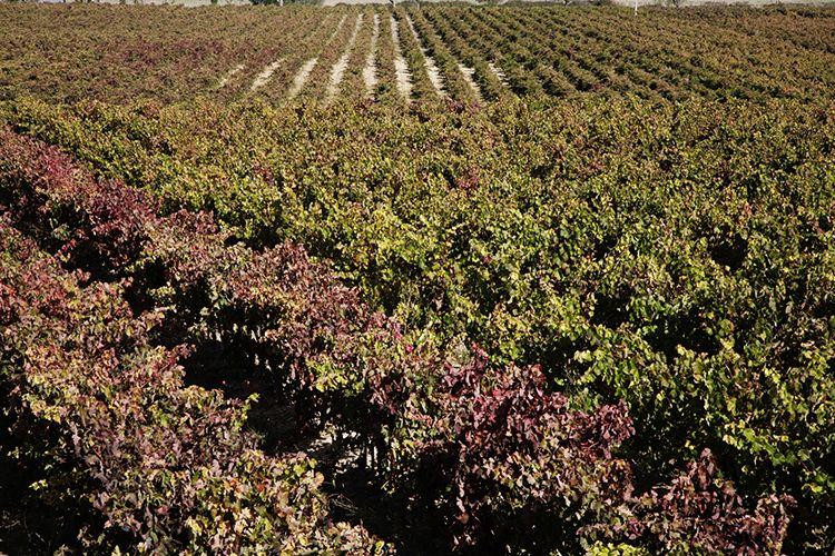 Viñedos de Carlos Serres en Haro (La Rioja)