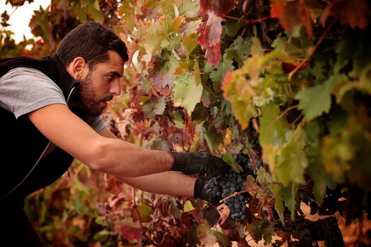 La recogida manual garantiza la perfecta conservación de la uva tempranillo