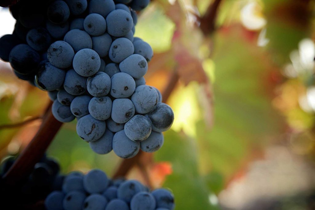 Uvas viñedos de Haro