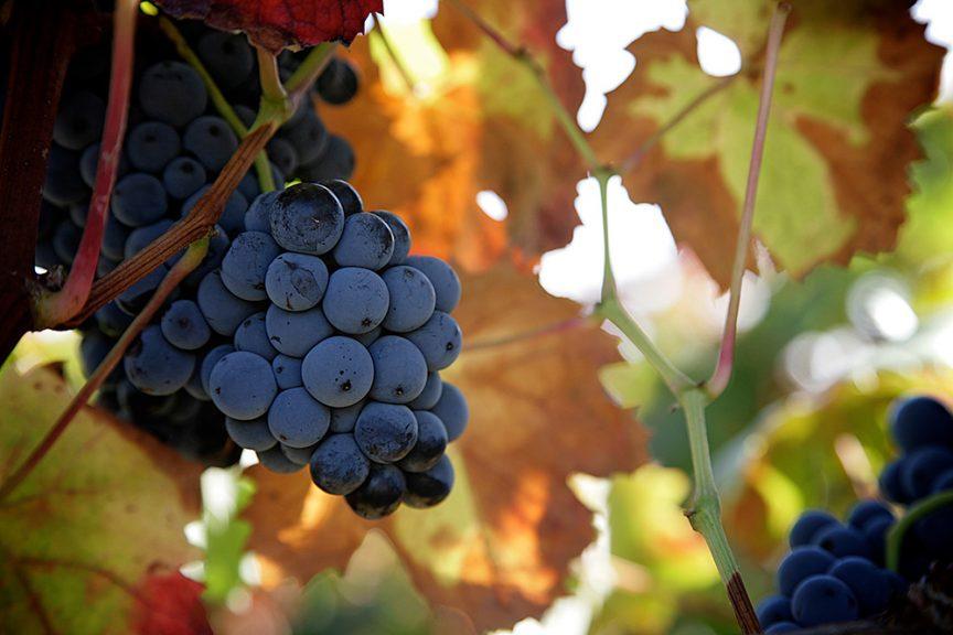Tempranillo, la uva de los mil vinos