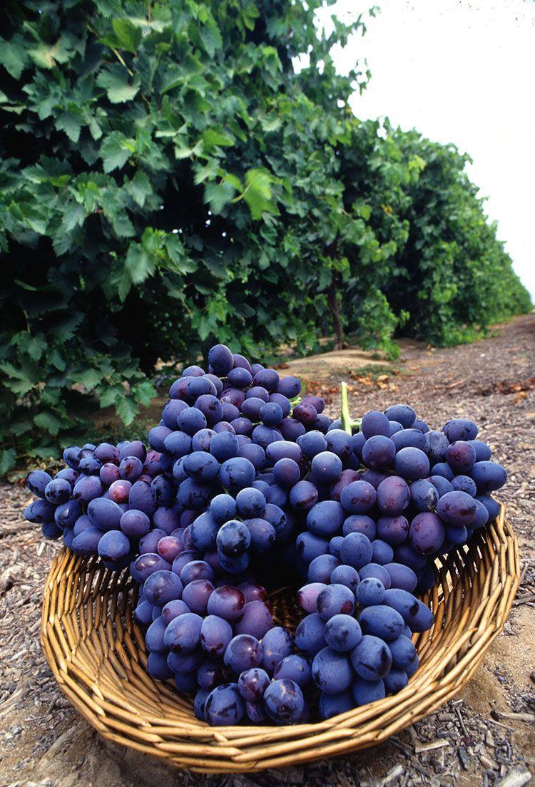 Uva garnacha de La Rioja