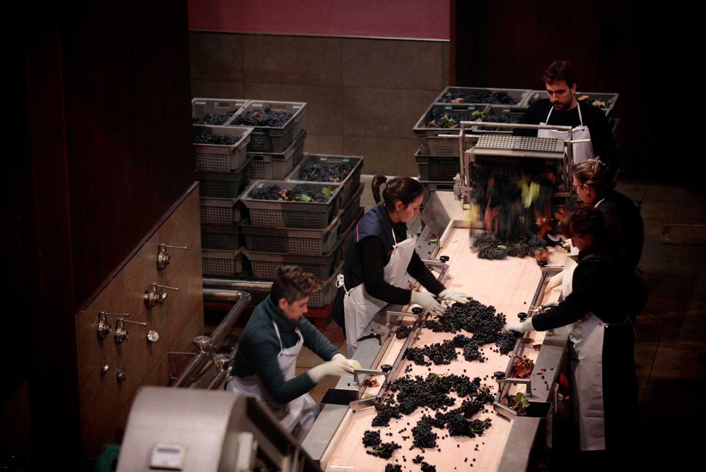 Sélection de raisin cave Carlos Serres