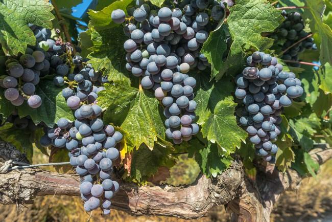 Producción de vino en España - Navarra