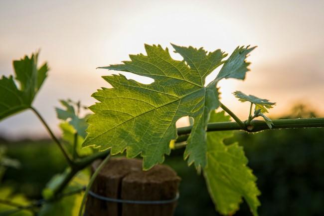 Producción de vino en España - Utiel