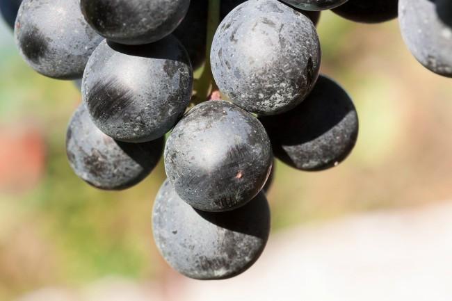 Variedad de uvas del vino