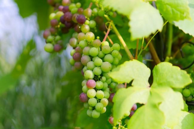 Uvas de La Rioja