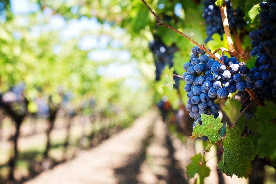 Uvas de Rioja