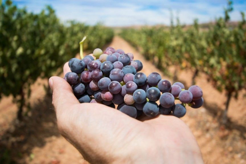 La recogida de la uva