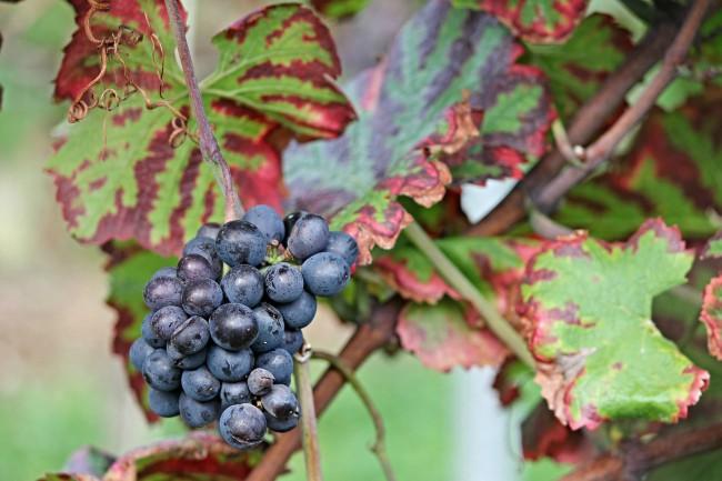 Uvas para vinos afrutados