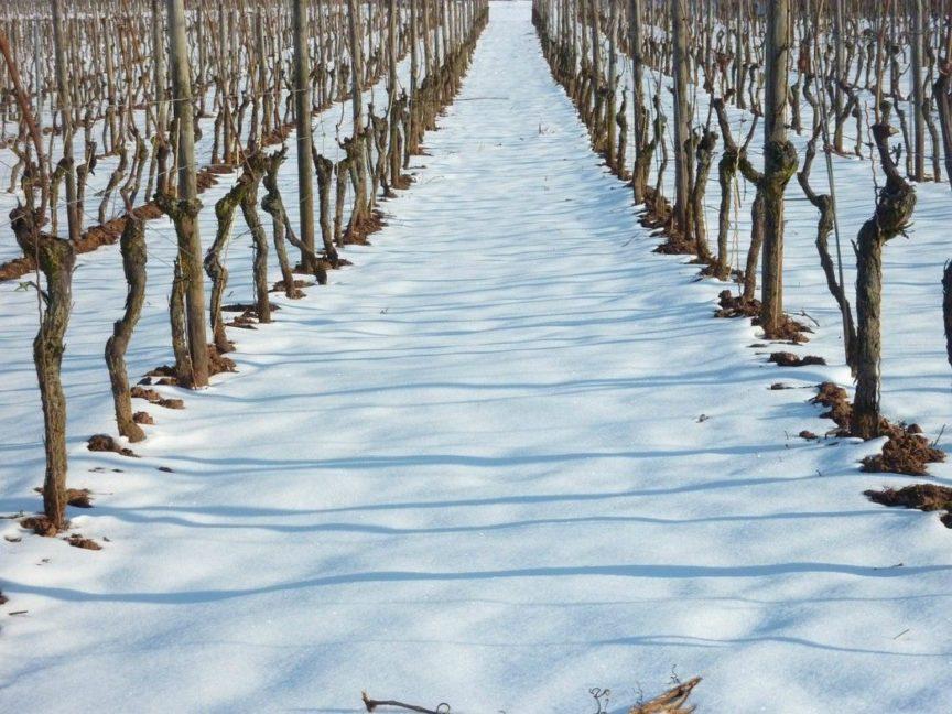 ¿Cómo afecta la nieve al viñedo?