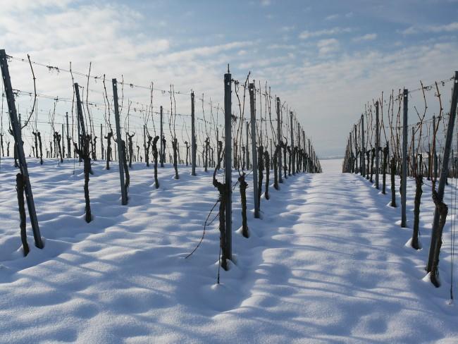 Cómo afecta la nieve al viñedo