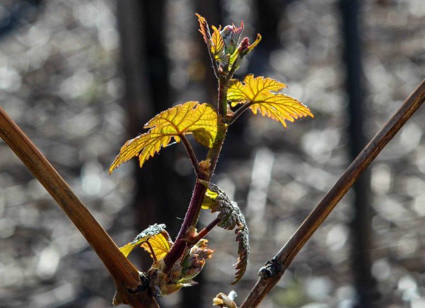 Ciclo vegetativo de la vid en primavera