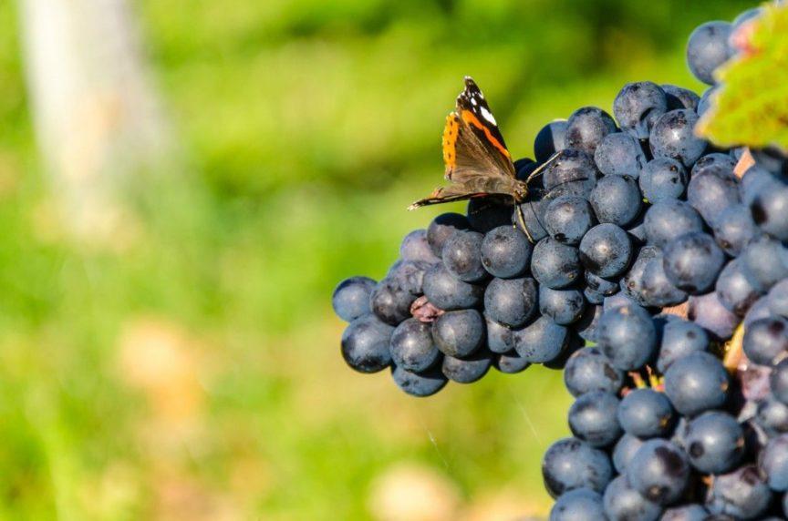 Labores del viñedo en primavera: las plagas