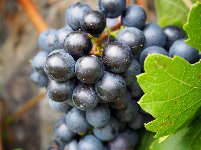 Uvas de vino