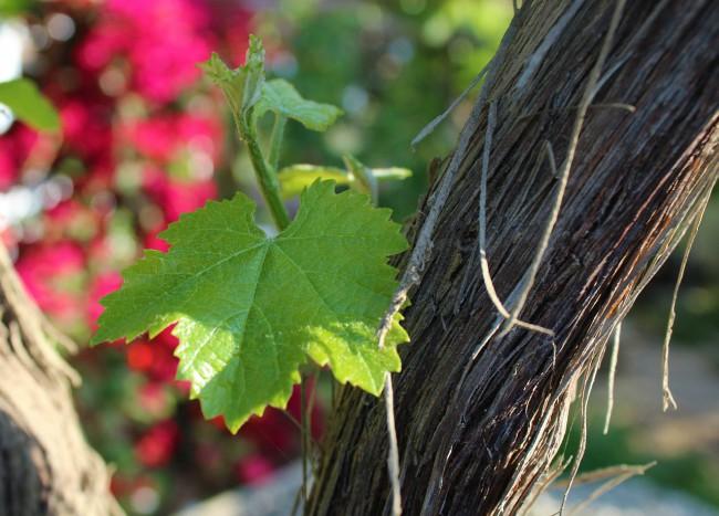 Por qué cambia de color el viñedo