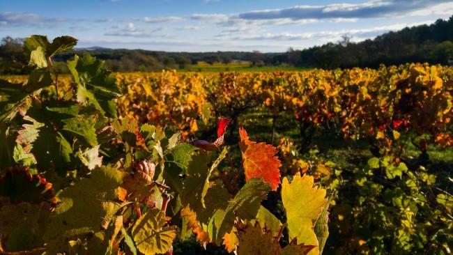 Cambios de color del viñedo
