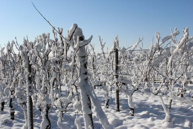 Daños de la nieve en el viñedo