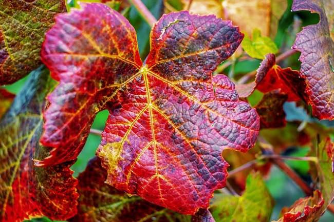 Labores del viñedo en otoño