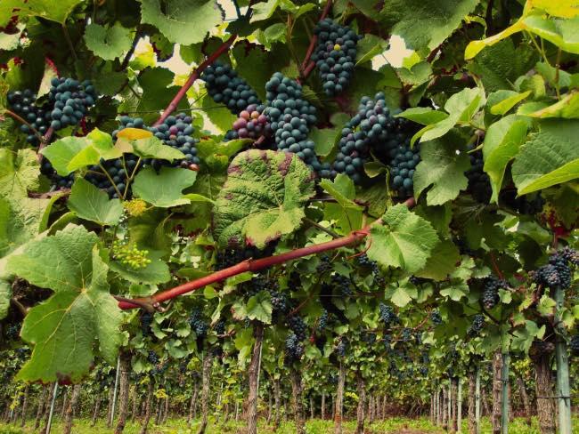 Efectos del calentamiento global en la maduración de la uva