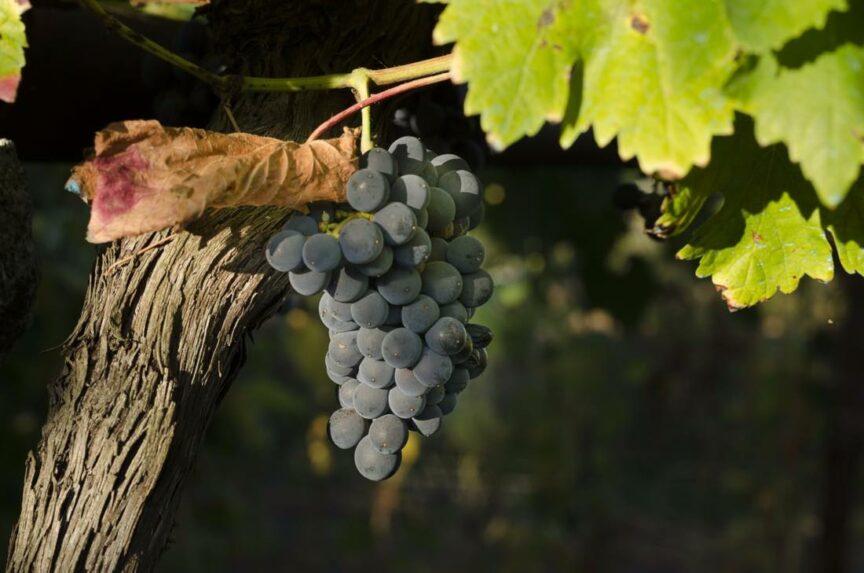 ¿Cómo puede influir el cambio climático en el vino?