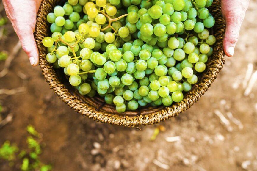 ¿En qué se diferencian las uvas de mesa y las de vino?