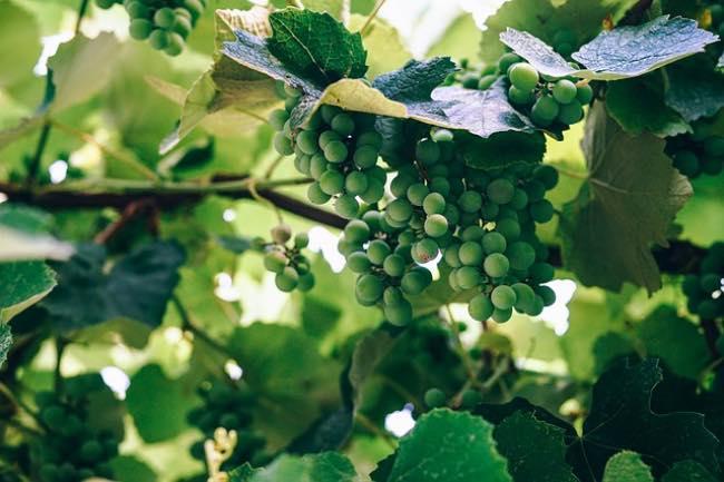 Diferencias entre las uvas de mesa y las uvas de vino
