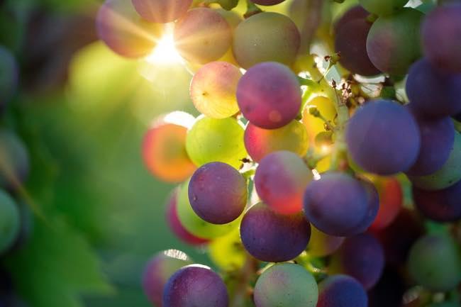 Características de la uva de vino