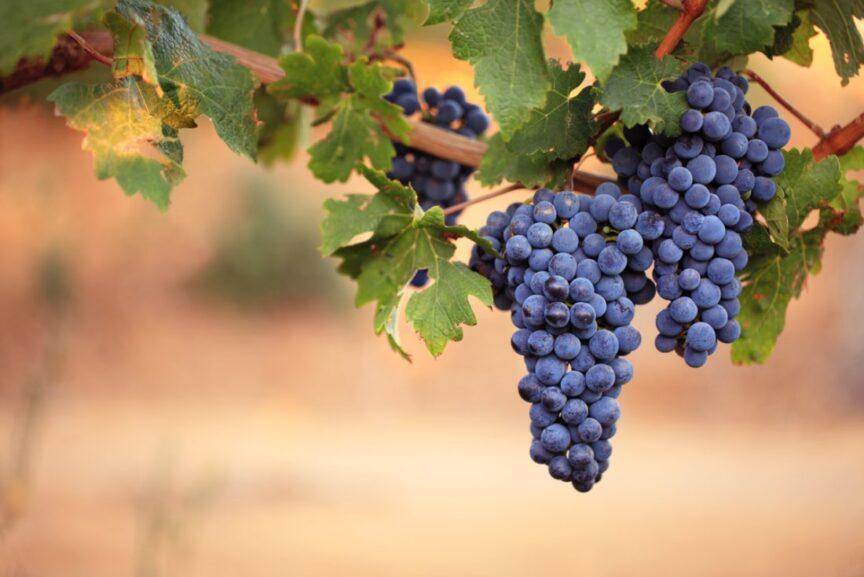 Uva graciano, una de las uvas más singulares de Serres