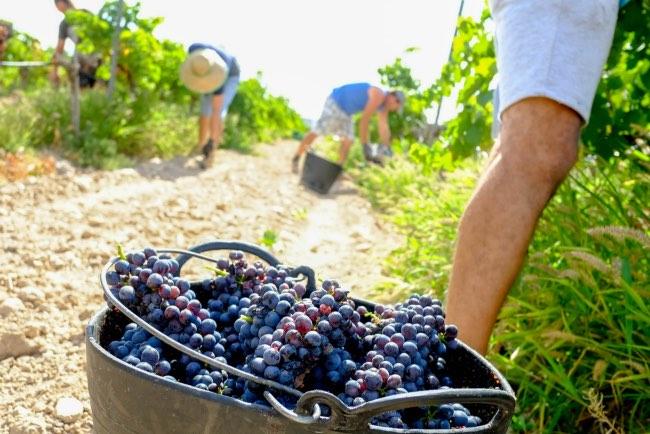 Curiosidades sobre la vendimia en La Rioja