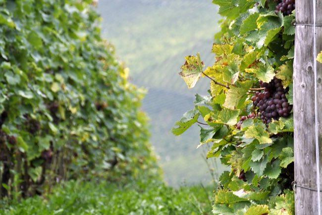 Cómo influye el terroir en el vino