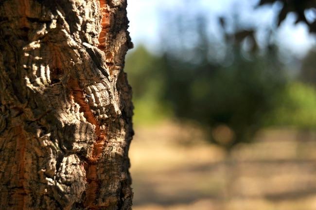 Alcornoque, el árbol del que se extrae el corcho de los tapones de vino