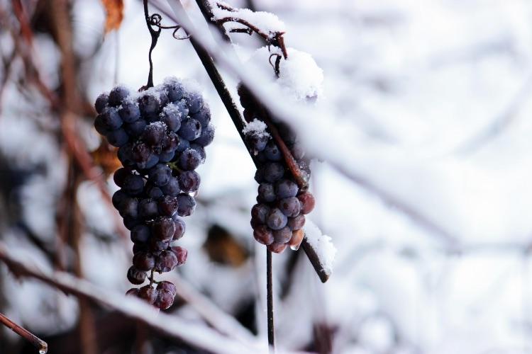 Por qué son tan codiciados los vinos de hielo