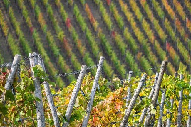 Qué consecuencia puede tener el cambio climático en el viñedo español